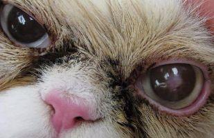 Feline Corneal Sequestrum
