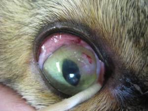 Feline Eosinophilic Keratitis